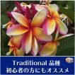 【育てやすい越冬株】プルメリア 'Mui Rainbow' 苗木(4号スリット鉢)