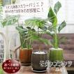 お部屋に合わせて選べる観葉植物 選べるモダンカラー陶器鉢 モンステラ エバーフレッシュ テーブルヤシ チャメンドラ レギネ ガジュマル