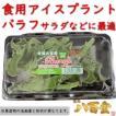 バラフ・アイスプラント 佐賀県産 サラダに最適 シャキシャキ新食感 健康
