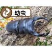 国産オオクワガタ幼虫1頭+E800菌糸ビン付き(虫)
