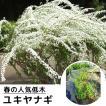 ユキヤナギ 樹高0.3m前後 15cmポット 雪柳 ゆきやなぎ...