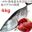 H長崎県 壱岐産 天然 ヨコワ 4キロ 鮮魚 1本釣り メジマグロ 本マグロ クロマグロ ホンヨコ 本メジ まぐろ 鮪 マグロ 生 まるごと 4kg前後