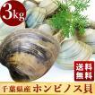 活きホンビノス貝(サイズ無選別)3kg入 白はまぐり ...