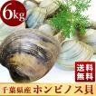 活きホンビノス貝(サイズ無選別)6kg入 白はまぐり 送料無料 BBQに!ギフトにも最適