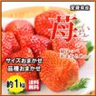 いちご 愛媛県産 苺 イチゴ あまおとめ 紅ほっぺ 他 品種おまかせ サイズおまかせ 不揃い 送料無料