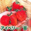 ジャンボいちご!果物の苗 アイベリー・いちご苗 苺 4ポット入りセット