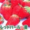 果物の苗 レッドパール・いちご苗 4ポット入りセット