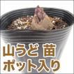 野菜の苗 山うど 苗 ポット入り(12cmポット)