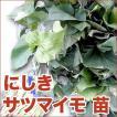野菜の苗 にしき/錦・サツマイモ さつま サツマ 苗 50本入り