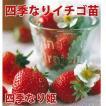 果物の苗 四季なりイチゴ 四季なり姫 いちご苗 4ポットセット