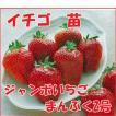 果物の苗 ジャンボいちご まんぷく2号 イチゴ ・いちご苗 4ポットセット