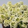 花の種(営利用)スイートアリッサム ニワナズナ イースターボネット レモネード 2ml サカタのタネ