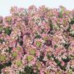 花の種(営利用)スイートアリッサム ニワナズナ イースターボネット ピーチ 2ml サカタのタネ