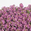 花の種(営利用)スイートアリッサム ニワナズナ イースターボネット ディープピンク 2ml サカタのタネ