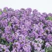 花の種(営利用)スイートアリッサム ニワナズナ イースターボネット ラベンダー 2ml サカタのタネ