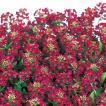 花の種(営利用)スイートアリッサム ニワナズナ イースターボネット ディープローズ 2ml サカタのタネ