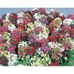 花の種(営利用)スイートアリッサム ニワナズナ イースターボネット ミックス 2ml サカタのタネ