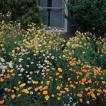 K813 アキレギア(西洋オダマキ) canadensis chrysantha (5粒)