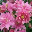 K819 アキレギア(西洋オダマキ) clementine rose (2粒)