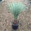 Yucca brevifolia ユッカ・ブレビフォリア