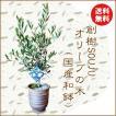 和モダン:オリーブの木*(国産ケンガイ小鉢)(苔・寒水)SOUJU(創樹)そうじゅ観葉植物 おりーぶ 鉢植えbonsai