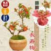 小品盆栽:長寿梅(瀬戸焼小鉢茶丸)* 苔とラッピング付 ラッピングのお色選べる 縁起 gift 誕生日祝 御祝 鉢花 鉢植えプレゼントにも  bonsai