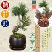 小品盆栽:五葉松(瀬戸焼黒丸鉢)* 苔と受け皿 ラッピング付き ラッピングのお色選べる  bonsai