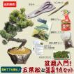 盆栽入門!初心者、盆栽はじめる方にも:小品盆栽 五葉松と盆栽道具7点セット*セット割bonsai