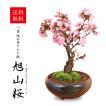 盆栽:特大一才桜(瀬戸焼三彩鉢)*2018年葉桜でお届け