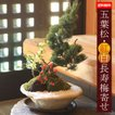 盆栽:五葉松・紅白長寿梅寄せ植えD(白釉変形鉢)*