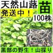【名水の里黒部】天然 山蕗・ふき・フキ・丈夫な苗株・値下げ!100株