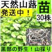 【名水の里黒部】天然 山蕗・ふき・フキ・丈夫な苗株・値下げ!30株