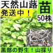 【名水の里黒部】天然 山蕗・ふき・フキ・丈夫な苗株・値下げ!50株