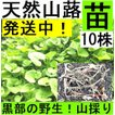 【名水の里黒部】天然 山蕗・ふき・フキ・丈夫な苗株・値下げ!10株