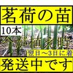 【発送中!】翌日~3日で着!天然茗荷・みょうが・ミ...