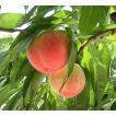 山梨の桃「嫁入り娘」2kg箱(約4-6個入) 日本一の山梨県笛吹市一宮町産 ご贈答向け最高級桃
