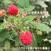国産冷凍ラズベリー バラ1kg 山形エコファーマ認定 令和3年収穫 フランボワーズ