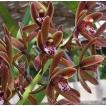 金稜辺、キンリョウヘン、原種 赤花