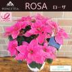 ワンランク上のポインセチア サントリーの八重咲きプリンセチア・ローザ 5号鉢カバー付き