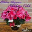 誕生日 プレゼント 花 開店祝い 新築祝い ギフト 結婚記念日 幸せ 鉢植え エラチオール ベゴニア ストロベリーフィールズ 5号鉢カバー入り