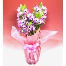 花 ラン 鉢植え デンドロピンク お祝い バースデー プレゼント