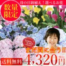 母の日 2017 花 鉢植え 選べるお花の鉢植え ギフト 送料無料 アジサイ カラー