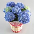 母の日に贈りたい!色合いが美しい「あじさいの鉢植え」はどれ?