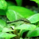 (熱帯魚)オトシンクルス(6匹) 北海道...