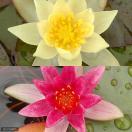 (ビオトープ/睡蓮)姫睡蓮(ヒメスイレン)色セット 赤・黄(各1株ずつ)(休眠株)