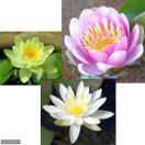 (ビオトープ/睡蓮)温帯性睡蓮(スイレン)3色セット 桃・黄・白(各1株ずつ)(休眠株)