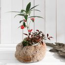 (盆栽)山野草盆栽 抗火石鉢寄せ植え ヒャクリョウとオタフクナンテン Lサイズ(1鉢)
