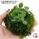 (盆栽)溶岩石苔玉 Ver.ミニ観葉(1...