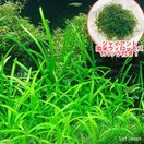 (水草)ジャイアント南米ウィローモス&ピグミーチェーンサジタリア(1セット)