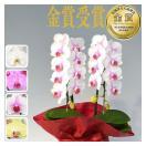 胡蝶蘭 ミディ 2本立(10〜20輪) 5000円(税...
